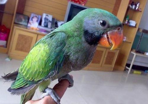 刚买回来的小绯胸鹦鹉怎么驯养?怎么教说话?